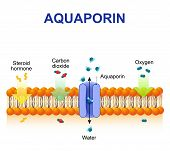 Schematic depiction of water molecule movement through of the aquaporin channel. poster