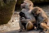 baboons family in the time of rest poster