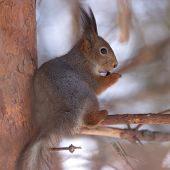 Brown squirrel eating nut on pine branch in winter forest poster