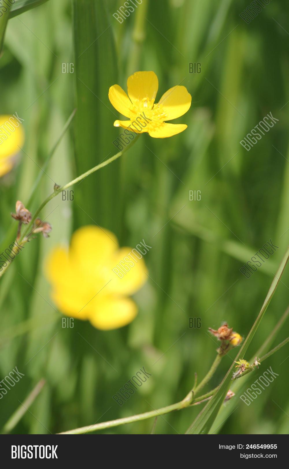 Waxy Bright Yellow Image Photo Free Trial Bigstock