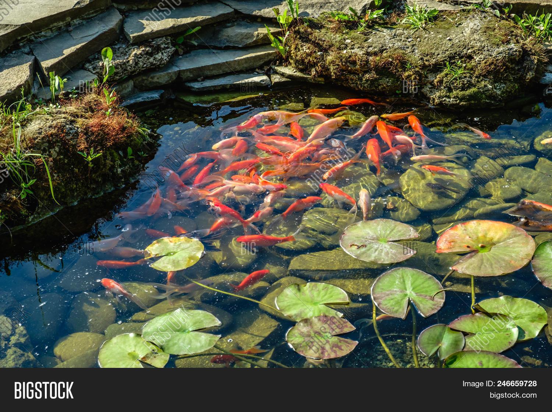Japan Koifish Carp Koi Image Photo Free Trial Bigstock