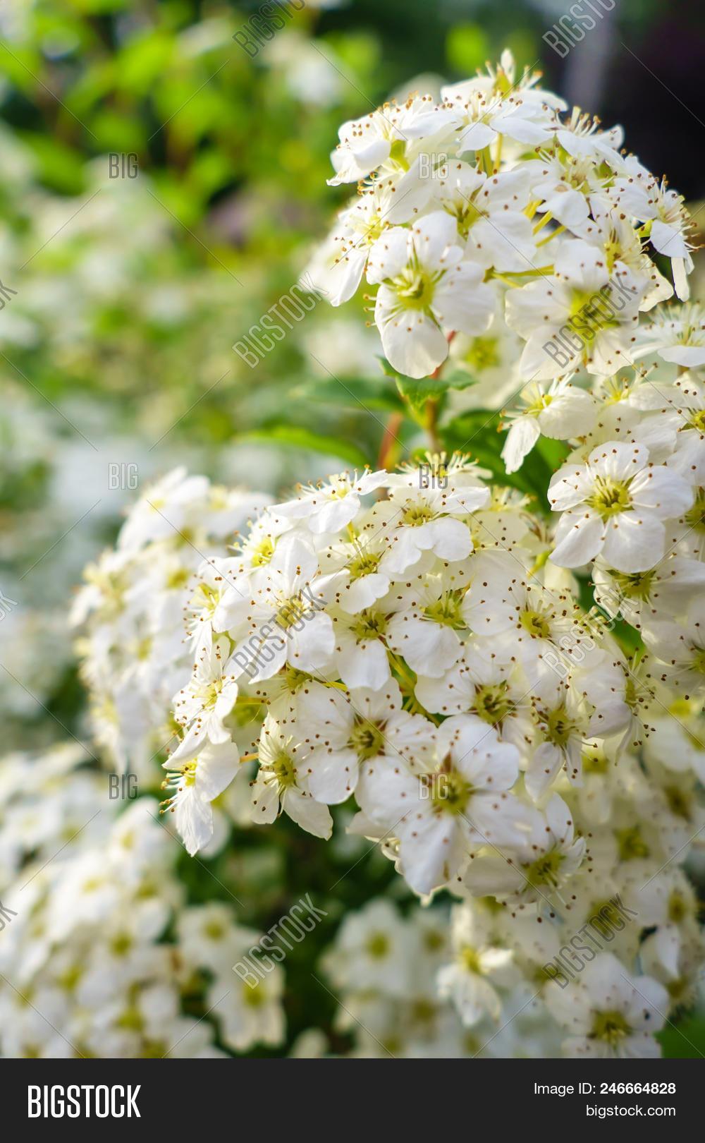 Blooming Bush Spirea Image Photo Free Trial Bigstock