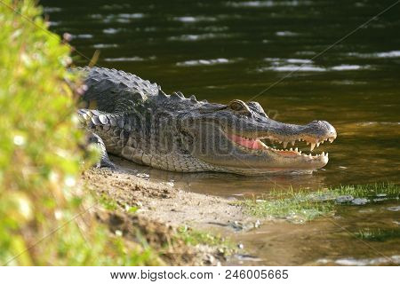Alligator On The Shore Of The Lake Lies Near The Water With An Open Mouth In A Natural Habitat. Alli