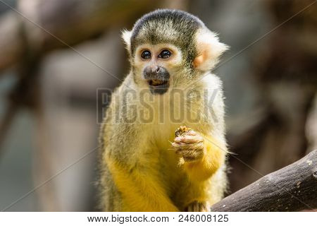 The Black-capped Squirrel Monkey Saimiri Boliviensis Is A South American Squirrel Monkey Found In Bo