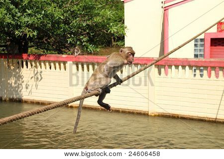 Long-tailed Macaque or crab-eating monkey in tropical rain forest park is on trouble rope poster