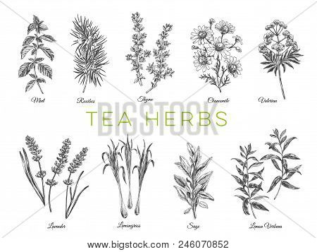 Beautiful Vector Hand Drawn Tea Herbs Illustrations. Detailed Retro Style Images. Vintage Sketch Ele