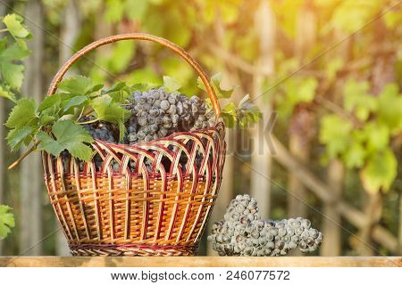 Basket With Grapes On The Hedge Background. Sunlight