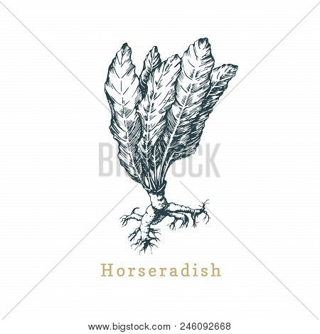 Vector Horseradish Sketch. Drawn Spice Herb. Botanical Illustration Of Organic, Eco Plant. Used For