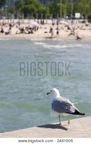 Ruffled gull standing on pier with water and beach in background poster