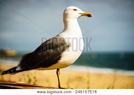Seagull Portrait On The Shores Of Portimao, Portugal.  Algarve Sea Shore In Portugal. Seagull In The
