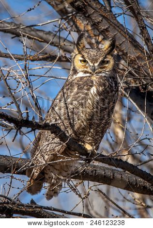 An Adult Great Horned Owl Perches In The Open As Its Caught Non-typically Hunting During Daylight Ho