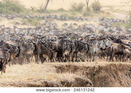 Wildebeest and zebra gather on the banks of the Mara river during the Great Migration in the Masai Mara, Kenya.