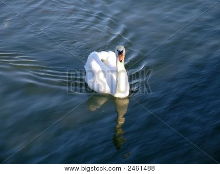 A swan swimming in beautiful deep blue water in a beautiful light at Hamble near Southampton England. poster