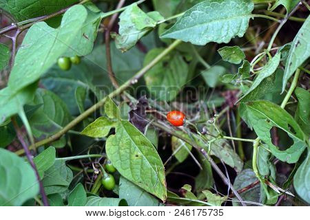 The Poisonous Red Fruit Of The Bittersweet Nightshade Plant (solanum Dulcamara) Ripens In Joliet, Il