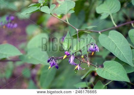 Flowers Of The Bittersweet Nightshade Plant (solanum Dulcamara) Bloom In Joliet, Illinois During Aug