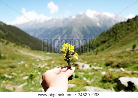 Yellow Flower In Hand In The Foreground On The Background Of The Stones Of The Green Hills Of The Mo