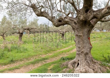 Ancient Way Through An Olive Grove, Sparta, Greece, Europe