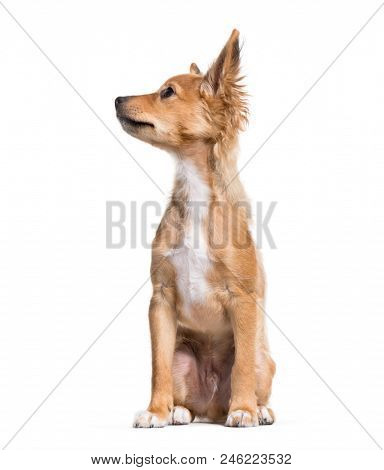Mixed-breed puppy, 15 weeks old, sitting against white background