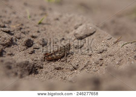 Close-up Portrait Of Grey Woodland Grasshopper On Ground. This Grasshopper Is Present In Most Of Eur