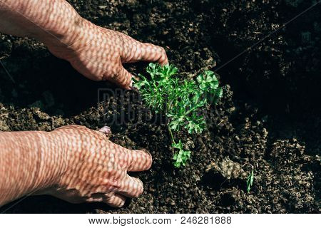 Female Hands Plant A Green Plant In The Ground. On His Hands A Shadow From The Net. Hands In Pattern