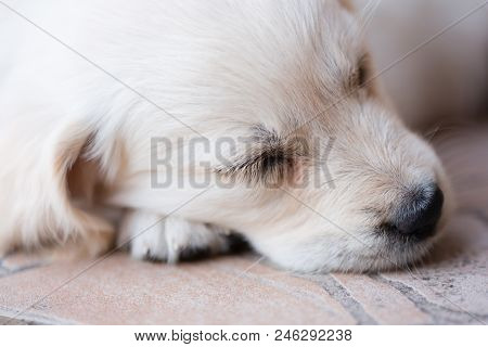 Beautiful Very Young And Little Golden Retriever Dog Sleeps Laying On Floor, Outdoor
