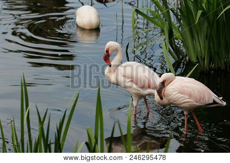 Flame-colored Flamingos Wading Birds In At Lake. Photography Of Nature And Wildlife.