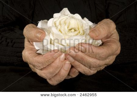 Old Hands Holding White Rose