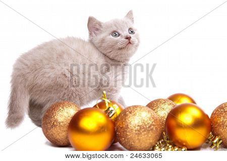 Studio portrait of playful young pale yellow British kitten playing with New Year decoration on isolated white background poster