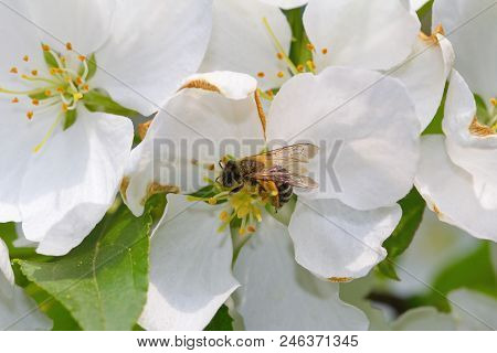 White Flowers Blossom In Springtime. Stock Photo