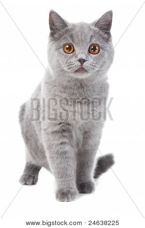 Studio portrait of beautiful young British blue cat walking on isolated white background poster