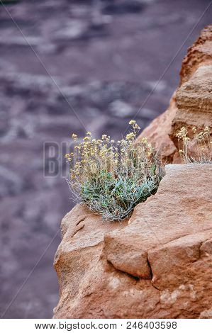 Brittlebush clinging to a rugged cliff in the Arizona wilderness