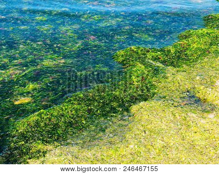 Rotting Algae Was Thrown To The Shore Of The Reservoir. Environmental Pollution Problem. Beach Pollu