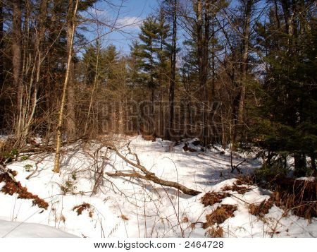 Winterforestnewhampshire