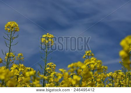 Close Up Rapeseed (brassica Napus) Flower Ending Blooming, Ripening Oilseed Rape Over Blue Sky. Clos