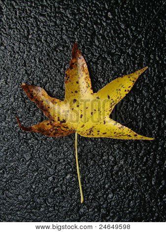 Fall Sweetgum leaf