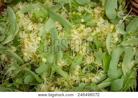 Fresh Tilia Flowers As A Background. Close Up Of Linden Flowers In A Basket. Tilia Flowers Are Medic