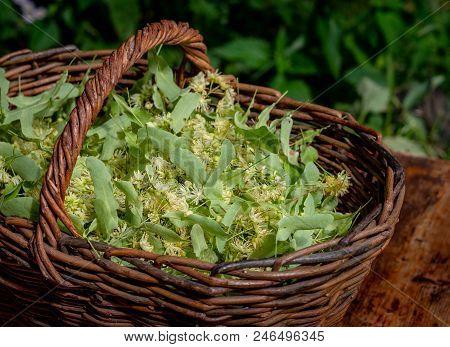 Fresh Tilia Flowers In A Basket In Garden. Close Up Of Linden Flowers In A Basket.