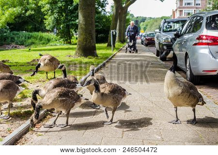 The Hague, The Netherlands - 17 June 2018: Canada Goose Family Crossing A Street In The Hague