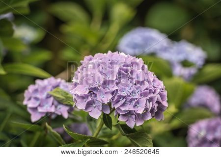 Closeup Of Violet Colored Hydrangea Macrophylla Flowers On The Bush In The Garden. The Photo Was Tak