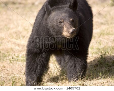 Black Bear .