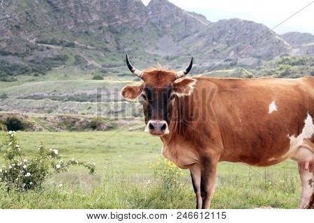 A Cow Standing Sideways On A Background Of Mountains, Elbrus Region Of Kabardino-balkaria