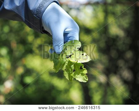 A Man's Hand In A Glove Shows A Plant Affected By A Pest Caterpillar