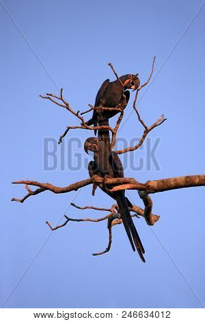 Two Hyacinth Macaws On A Branch. Pantanal, Brazil