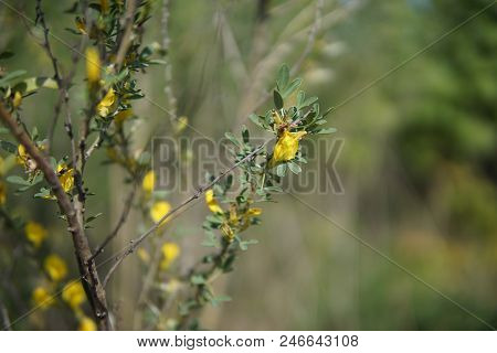Bush With Yellow Flowers Closeup In The Beginning Of The Summer