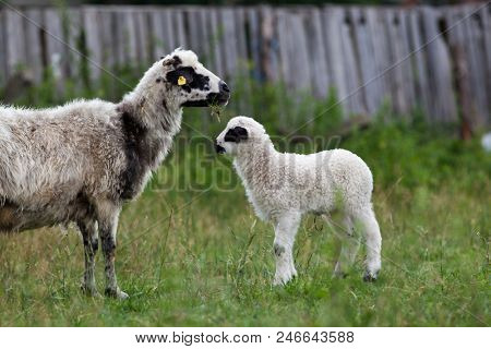 sheep and lambs in the grass