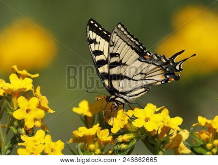 Eastern Tiger Swallowtail (papilio Glaucus) Nectaring On Hoary Puccoon - Pinery Provincial Park, Ont