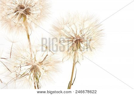 Big Dandelion On White