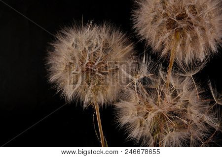 Big Dandelion On Black Background