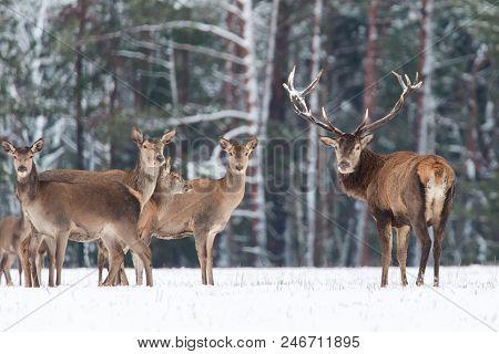 Winter Wildlife Landscape. Noble Deers Cervus Elaphus. Two Deers In Winter Forest. Deer With Large H