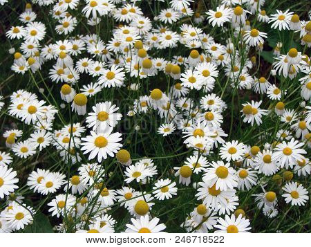 Camomile Flowers In The Mountain Field Norway